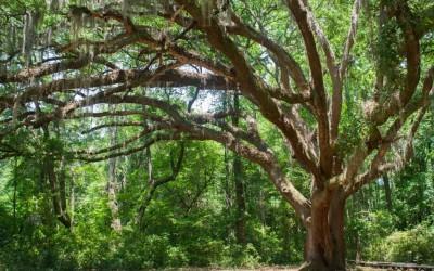 The Guardian Oak